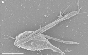 Cthulhu macrofasciculumque