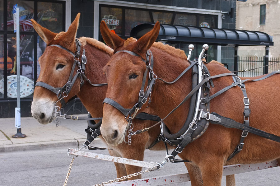 Horses, donkeys or mules? They're mules, but admit it, you weren't really sure, were you? (Photo: Marty Gabel, via Flickr)