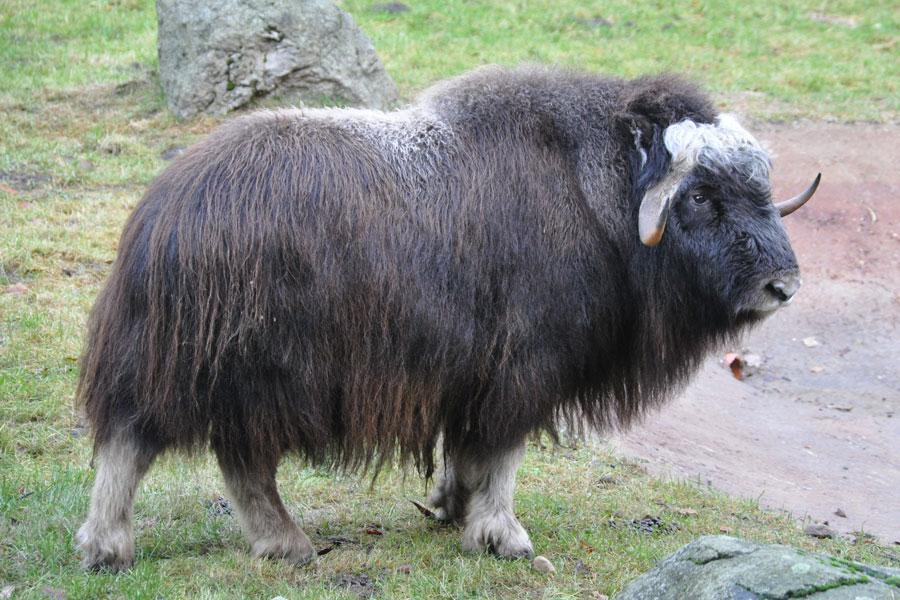 Fig. 4: A Muskox (not an ox) in the Lüneburg Heath wildlife park, Germany. (Photo: Quartl, via Wikimedia Commons)