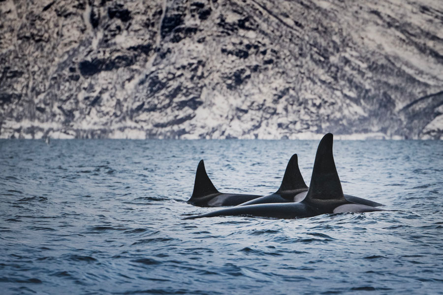 Fig. 3: Don't call 'em killer whales. (Photo: Bart van meele via Unsplash)