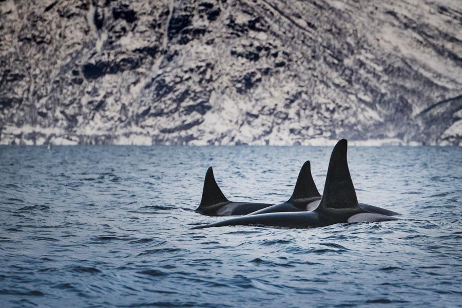 Fig. 3: Don't call 'em killer whales. (Photo: Bart van meele via Unsplash)