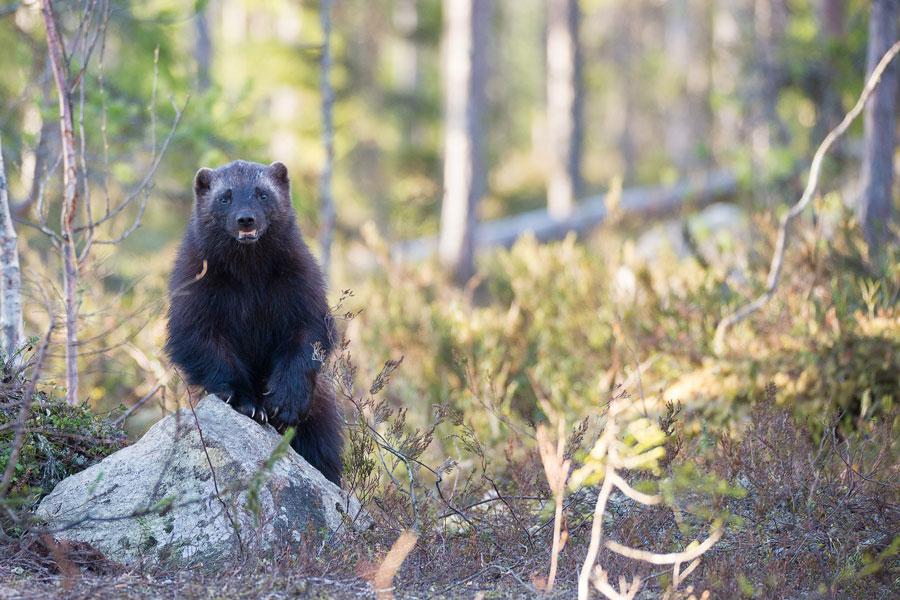 "Fig. 5: Wolverines are also known as ""skunk bears"". Enough said. (Photo: Vincent van Zalinge via Unsplash)"